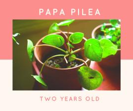 Papa pilea (1)