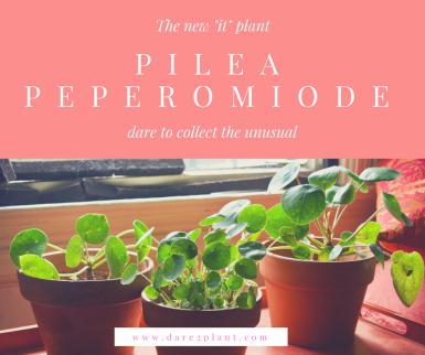 pileapeperomiode (1)